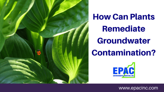 How Can Plant Remediate Groundwater Contamination?